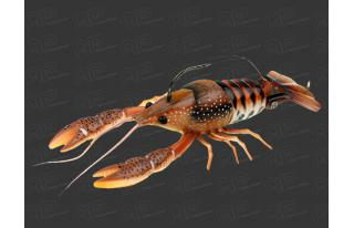 05-Brown-Orange - Clakin crayfish